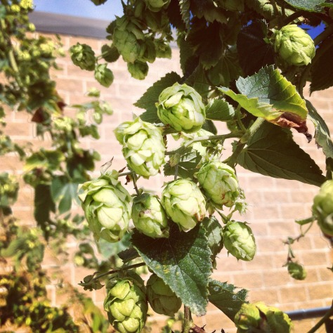 Крафтовая пивоварня. Newburyport Brewery. Гид по IPA. Сосновый или резиновый IPA.